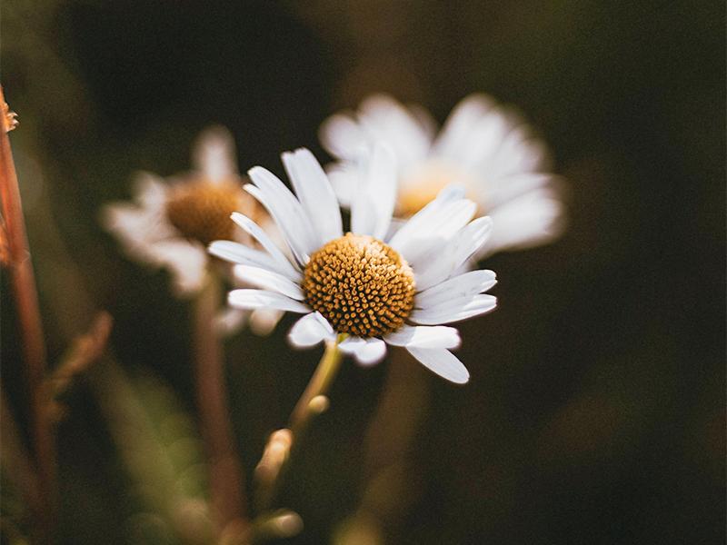 chamomile plant bog