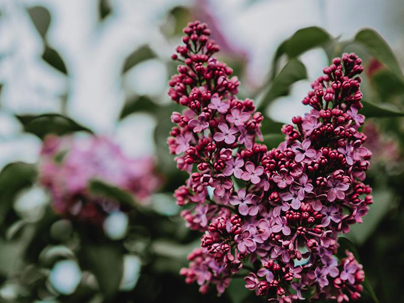 lilac gardening blog thermea